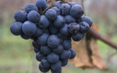Blue wine and champagne will be made in Lebanon