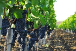 """Sevastopol will have """"their own"""" growers and winemakers"""